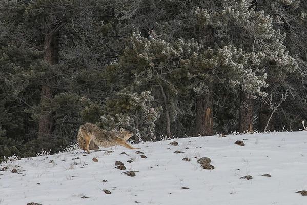 Coyote needed a stretch break