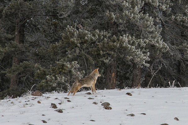 Coyote is about to get on the move