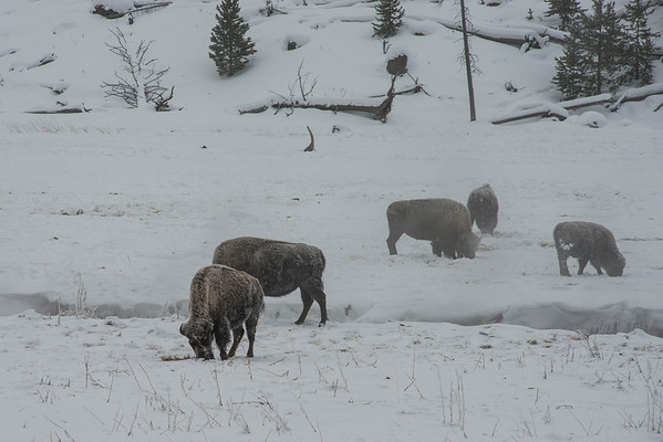 Next we came upon a heard if Bison eating what they could find under the snow