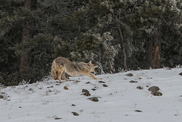 Our coyote friend got a bit tired and needed to stretch out and yawn.  If only I added a ball of fire he'd look like a fire breathing coyote!