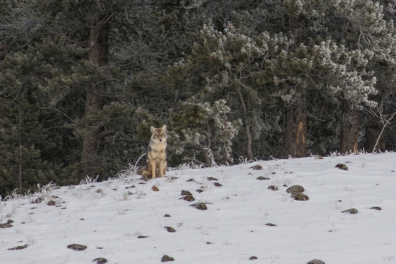 As we started to get closer to Old Faithful we saw more and more signs of hot springs and geysers. My eye was so focused on the steam ahead of us, that I had no clue why our guide pulled over. He told us to look back and we'd see a Coyote! I was so impressed that Pierre found this little guy!