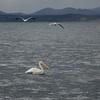 White pelicans on Yellowstone Lake