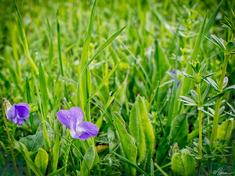 fleur-mauve_14288052111_o