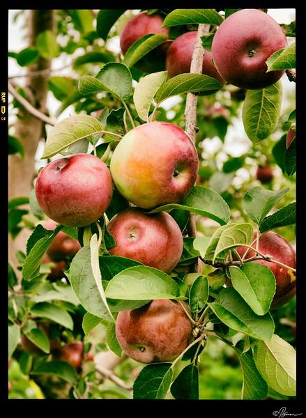 aux-pommes-a-oka-13_15149556747_o