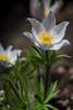 Anemone patens wolfganglana, a perennial wildflower