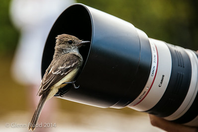 Galapagos Fly Catcher Inspecting the Lens