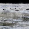 Lathan Goumas - lgoumas@shawmedia.com<br /> Ducks swim on the DuPage River in Shorewood as steam rises on Dec. 23, 2013.