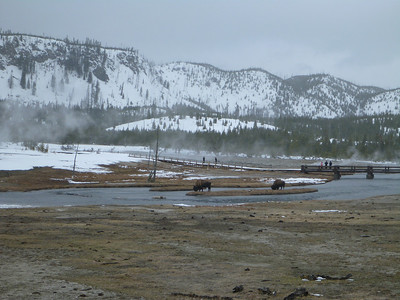 Bison hanging out on an island in a river in winter in Yellowstone National Park.