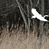 Rob Winner – rwinner@shawmedia.com<br /> <br /> A great egret takes flight near the Illinois and Michigan Canal at the Lower Rock Run Preserve in Joliet, Ill., Monday, April 7, 2014.