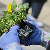 Rob Winner – rwinner@shawmedia.com<br /> <br /> Mayra Pizarro, a sophomore, separates a flat of pansie before planting them outsid Joliet Central High School on Monday, May 5, 2014.