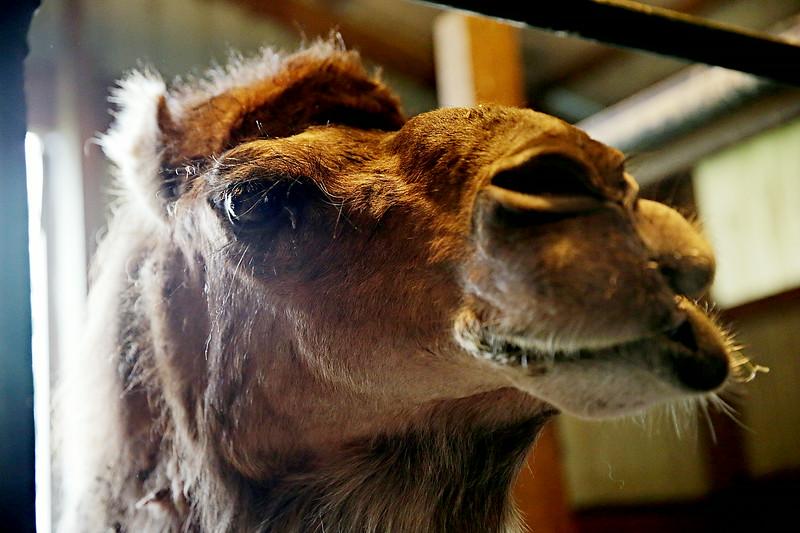 Rob Winner – rwinner@shawmedia.com<br /> <br /> Calypso, a 12-year-old camel at Calypso Farm in Lockport chews on some hay Wednesday, June 11, 2014.