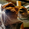 Rob Winner – rwinner@shawmedia.com<br /> <br /> Calypso, a 12-year-old camel at Calypso Farm in Lockport chews on some hay Wednesday, June 11, 2014.