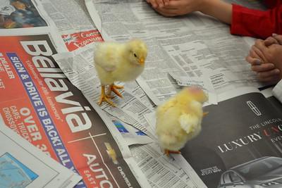 LS Baby Chicks Hatching 2015