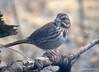 DSC_1794 Song Sparrow Apr 4 2014