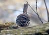 DSC_1793 Song Sparrow Apr 4 2014