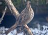 DSC_1798 Song Sparrow Apr 4 2014