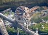 DSC_1797 Song Sparrow Apr 4 2014