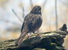DSC_1791 Song Sparrow Apr 4 2014