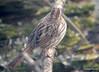 DSC_1799 Song Sparrow Apr 4 2014