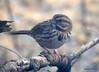 DSC_1795 Song Sparrow Apr 4 2014