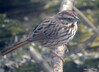 DSC_1800 Song Sparrow Apr 4 2014