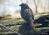 DSC_1790 Song Sparrow Apr 4 2014
