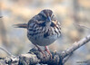 DSC_1796 Song Sparrow Apr 4 2014