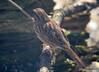 DSC_1789 Song Sparrow Apr 4 2014