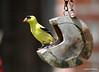 DSC_5876 American Goldfinch July 6 2014