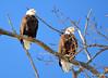 DSC_1039 Bald Eagle Mar 6 2014