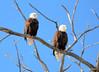 DSC_1036 Bald Eagle Mar 6 2014