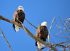 DSC_1041 Bald Eagle Mar 6 2014