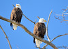 DSC_1048 Bald Eagle Mar 6 2014