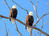 DSC_1037 Bald Eagle Mar 6 2014