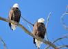 DSC_1045 Bald Eagle Mar 6 2014