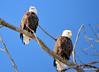 DSC_1040 Bald Eagle Mar 6 2014