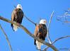 DSC_1046 Bald Eagle Mar 6 2014