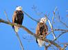 DSC_1038 Bald Eagle Mar 6 2014