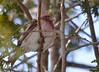 DSC_1034 Purple Finch Mar 4 2014