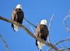 DSC_1043 Bald Eagle Mar 6 2014