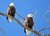 DSC_1044 Bald Eagle Mar 6 2014