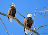 DSC_1047 Bald Eagle Mar 6 2014