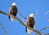 DSC_1042 Bald Eagle Mar 6 2014