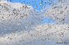 FSC_2348 Snow Geese Oct 31 2014