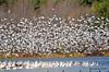 FSC_2336 Snow Geese Oct 31 2014