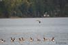 FSC_2328 Mallard Canada Geese Oct 31 2014