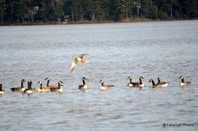 FSC_2329 Mallard Canada Geese Oct 31 2014