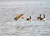 FSC_2330 Mallard Canada Geese Oct 31 2014