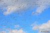 FSC_2347 Snow Geese Oct 31 2014