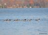 FSC_2286 Canada Geese Oct 31 2014